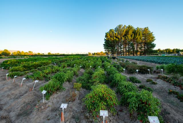 The teaching garden at New Mexico State University's Chile Pepper Institute tests 150 different varieties every year, New Mexico Magazine