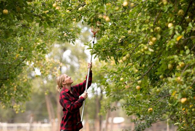 A good day of picking just might result in a apple crisp pie.