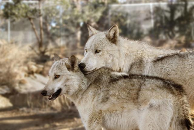 Draco and Leia at the Wild Spirit Wolf Sanctuary is located in Candy Kitchen, New Mexico.