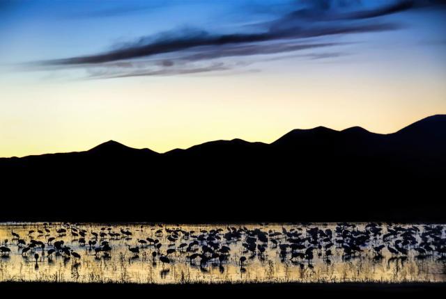 Sandhill cranes gather at the Bosque del Apache