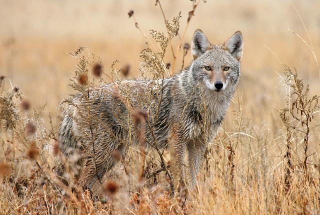 Coyote in an open field