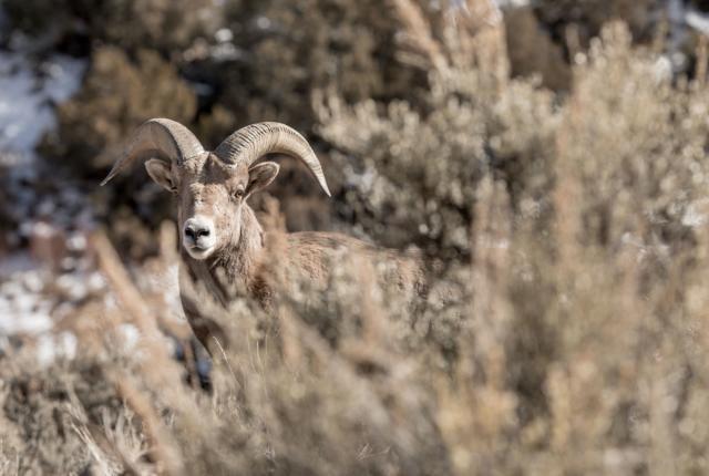 Bighorn sheep in the Rio Grande Gorge