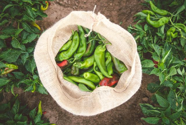 Hatch Chile Store Fresh Chiles