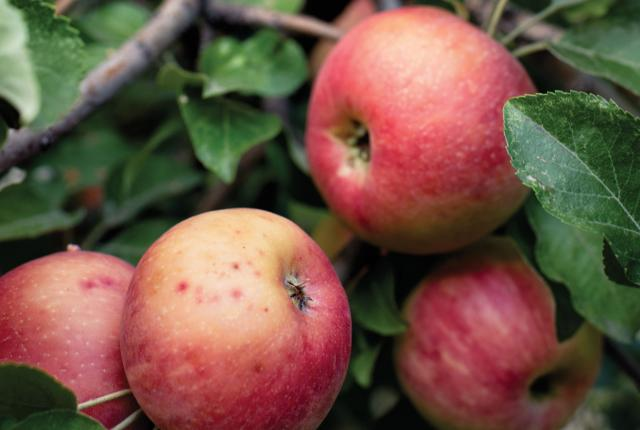 Apples for NM Hard Cider