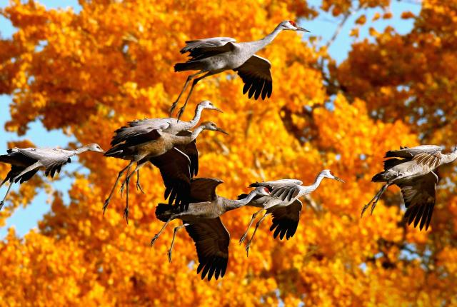 Sandhill cranes flying above wetlands during the fall