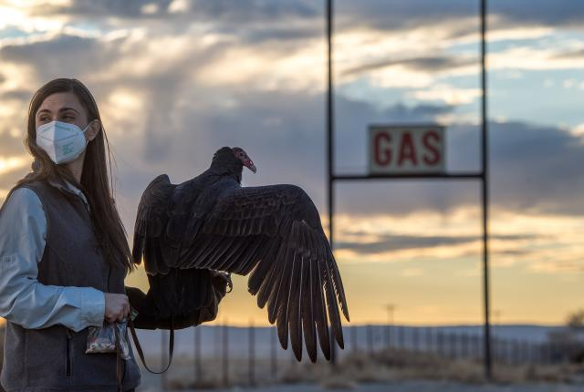 Beauty the turkey vulture's cameo in  the film Cop Shop sheds light on the raptor's importance.