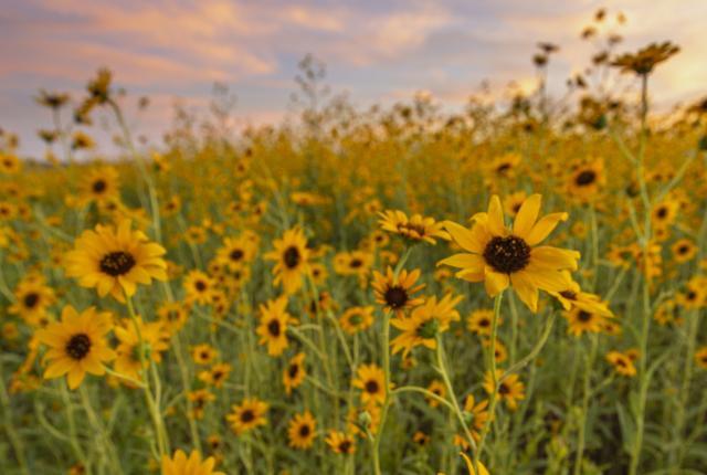 The Pecos Sunflower (Helianthus Paradoxus), New Mexico Magazine