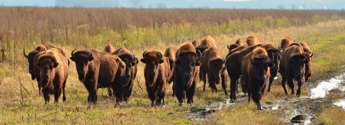 Newton-County-Kankakee-Sands-buffalo