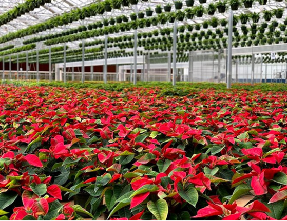 Poinsettia's at Eno River Farm