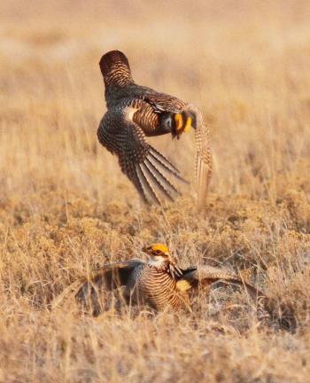 Lesser Prairie Chicken Dance