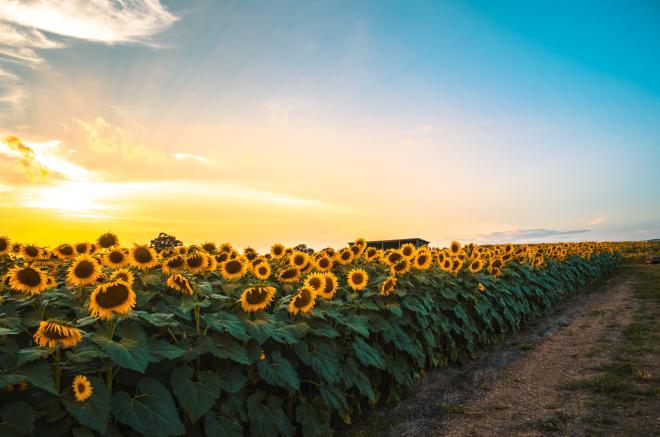 Beaver Dam Farm Sunflower Festival - Botetourt County