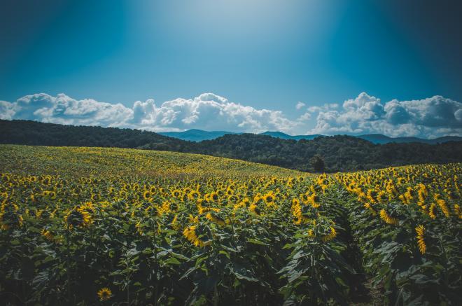 Sunflower Festival - Beaver Dam Farm, Virginia