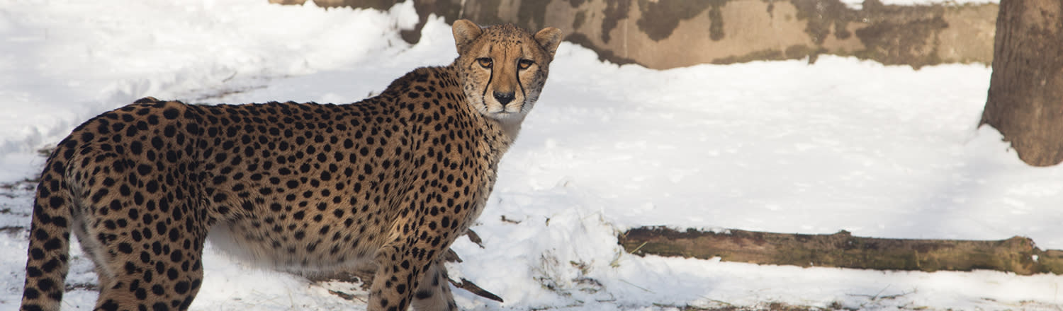 Cheetah among the snow at the Zoo in winter