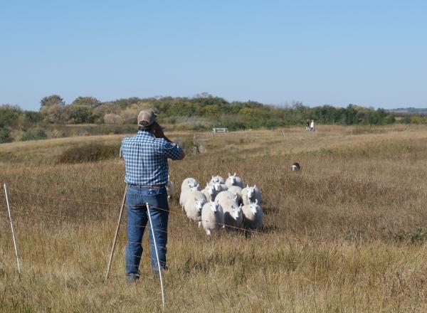 Meewasin Sheep Grazing