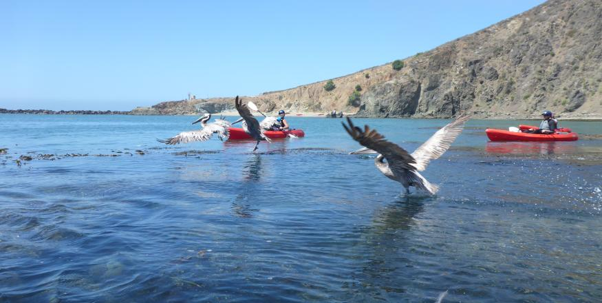 Pelicans and kayakers enjoy the water off the SLO CAL coast