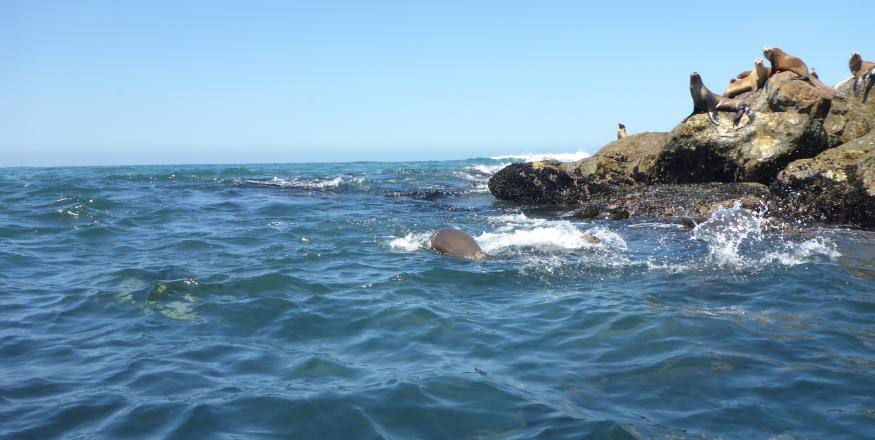 Sea lions sunbathe on rocks and swim in the ocean in SLO CAL