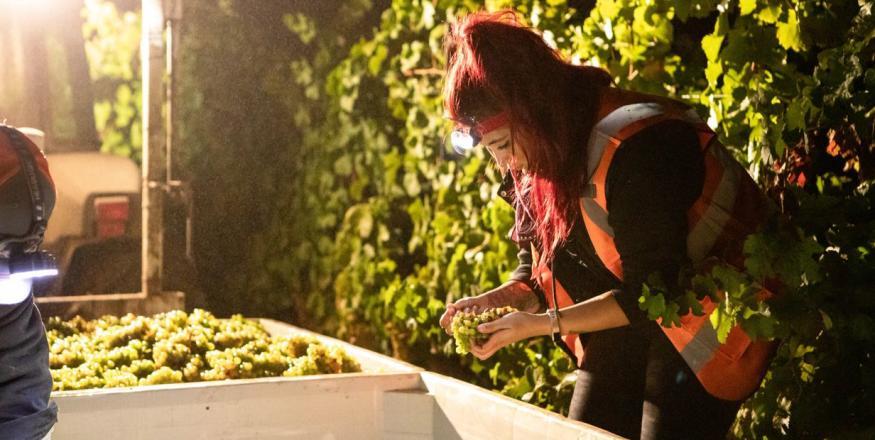 Nancy Ulloa wine harvest
