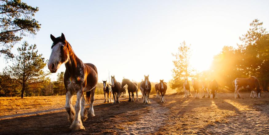 Horses Walking Down A Path At Sunset