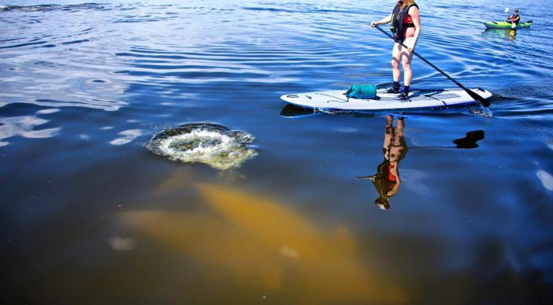 Stand up paddle boarding with belugas in Churchill with Sea North Tours