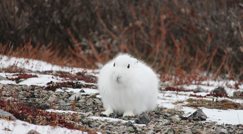 Arctic Hare On The Tundra near Churchill, Manitoba