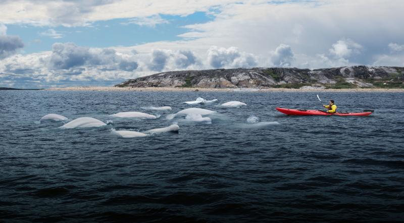 Beluga whales in Churchill – Travel Manitoba – Canada's Heart Beats