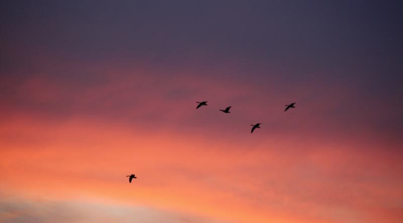 Goose Flight Feasts at FortWhyte Alive