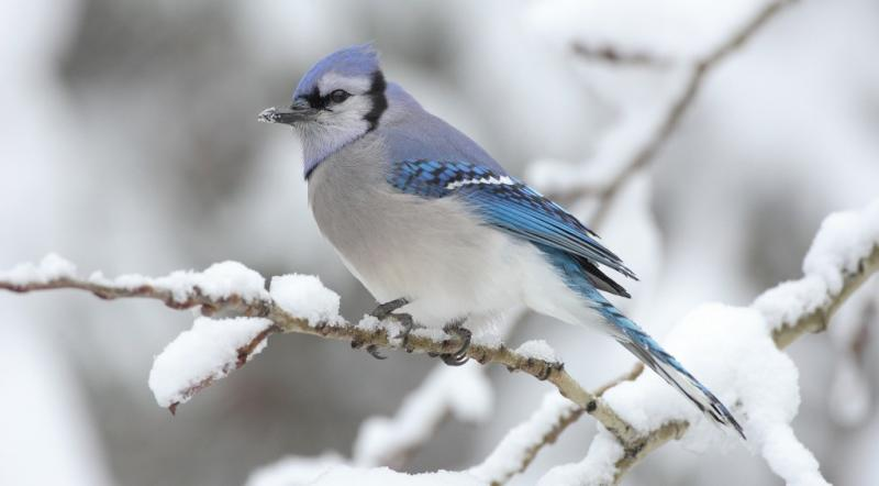 Oak Hammock Marsh Christmas bird count - blue-jay