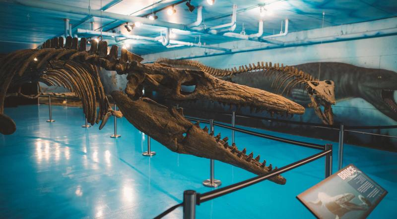 View of the fossil of Bruce the Mosasaur at the Canadian Fossil Discovery Centre