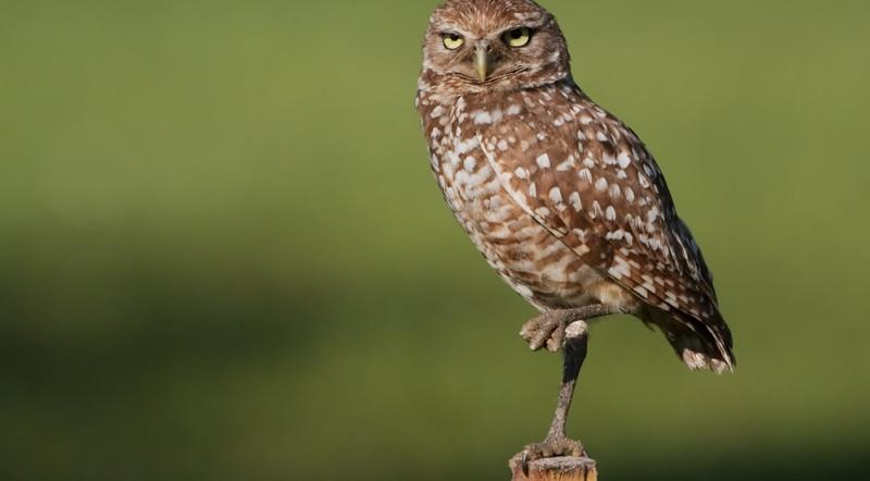 Burrowing owl at La Riviere Raptor Festival