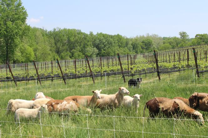 Sheep and grape vines at Dodon