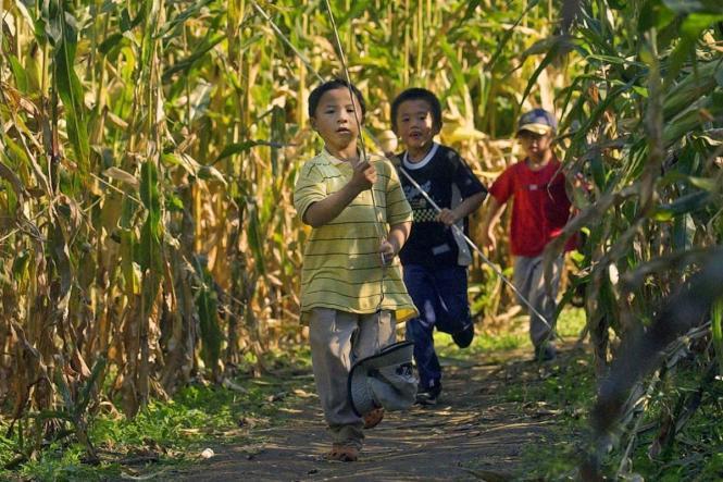3 little boys run through a corn maze