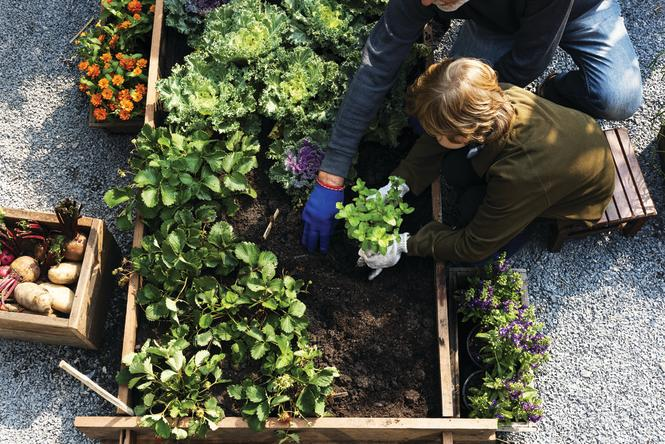 A child plants strawberry plants in a raised planter box.