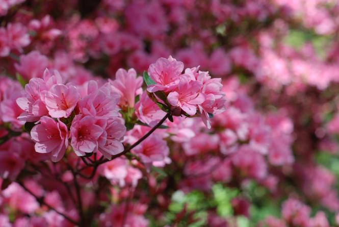 Pink azeleas in bloom at London Town