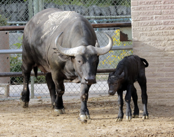 Cape buffalo baby at Denver Zoo