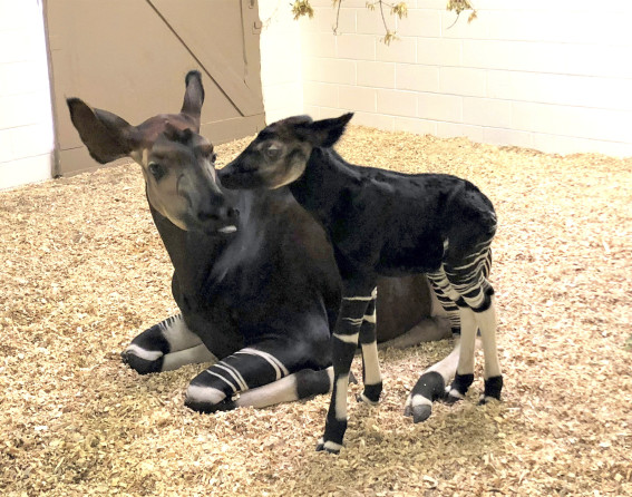 Okapi baby at Denver Zoo