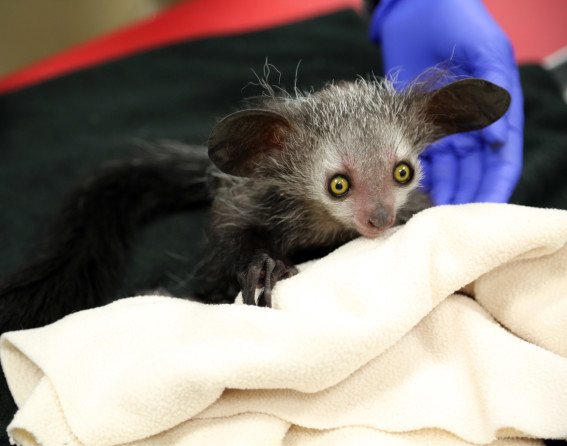 Aye-aye baby at Denver Zoo