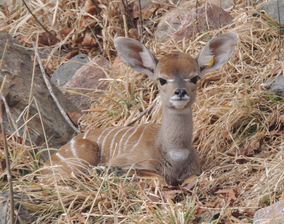 Lesser kudu baby at Denver Zoo
