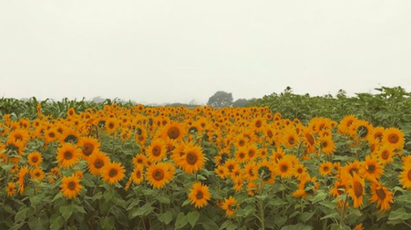 Sunflower field at Andreotti Family Farm in Half Moon Bay, California