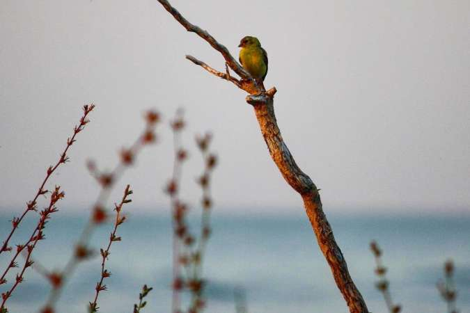 Yellow Finch Sitting on Tree Branch with Lake Michigan Behind