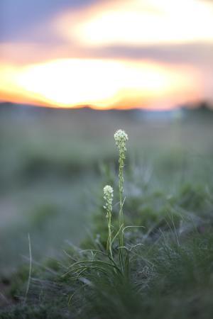 White wildflowers sunset backlit