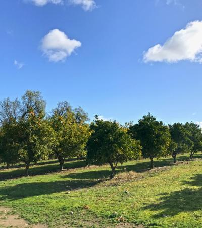 Orange grove at SJRPT