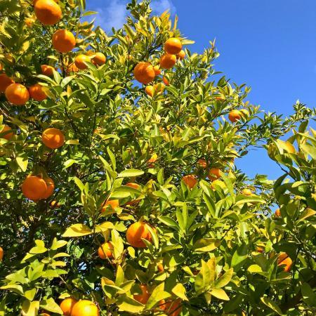 Orange tree at SJRPT