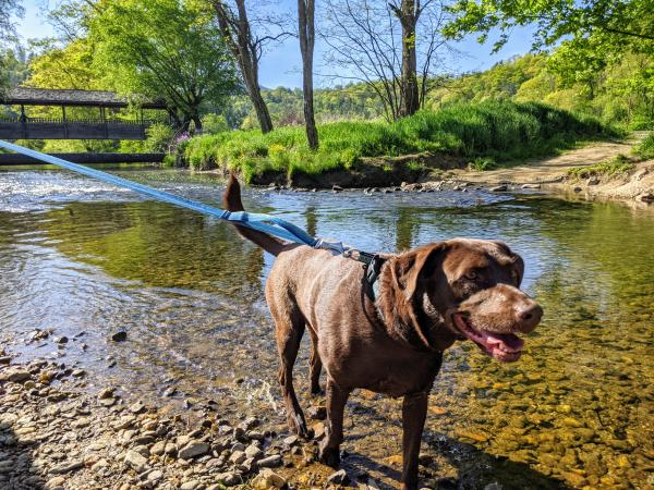 A chocolate lab on a blue leash gazes past the camera, with her feet in a river with a covered bridge going over it in the background.