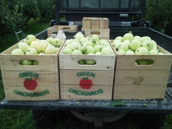 Crates of green apples at Owen Orchard