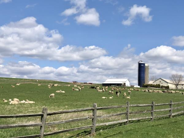 Meadow with sheep and blue sky