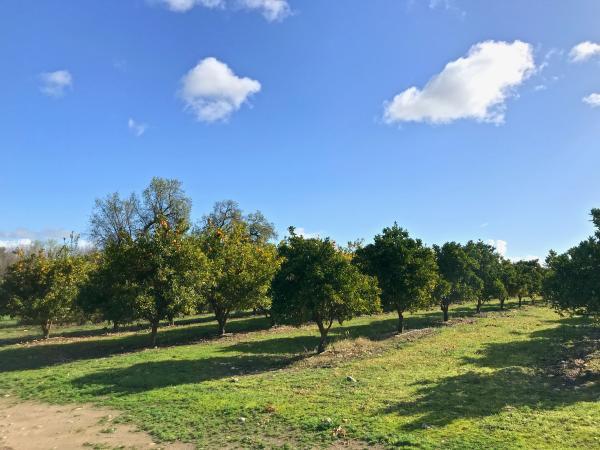 Orange grove at SJRPT