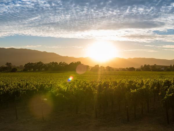 Summer Sunset in Napa Valley Vineyards