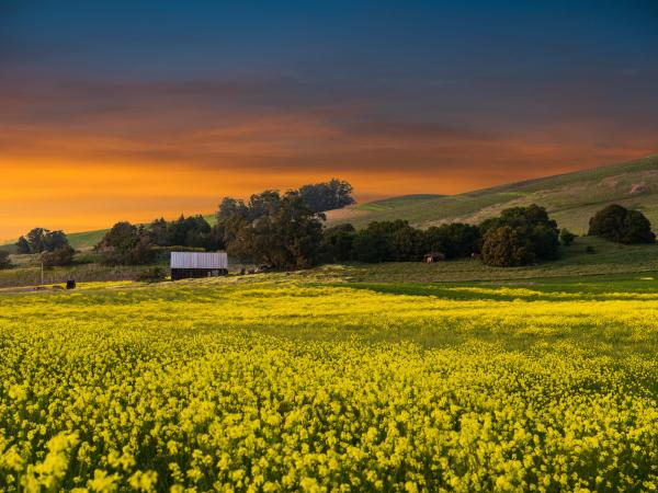 Mustard Sunset in American Canyon