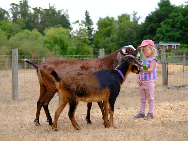 Small Child Petting Goats at Connolly Ranch in Napa Valley