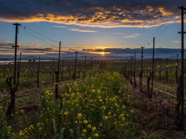 Mustard vineyard in Napa Valley in winter